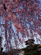 Sakura0705